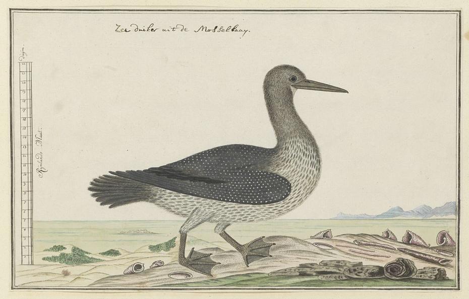 Aalscholver (Phalacrocorax capensis) of zeeduiker
