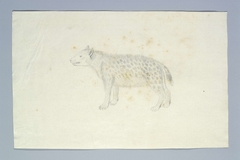 Gevlekte hyena (Crocuta crocuta), op de linkerflank gezien