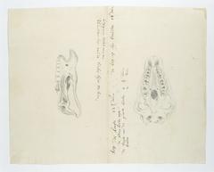 Twee skeletten van de kop van een zwarte neushoorn (Diceros bicornis), van links gezien en van boven of onder