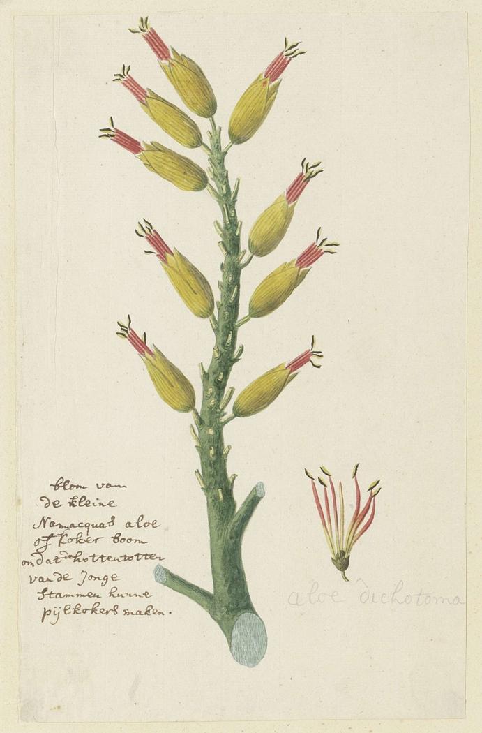 Aloe dichotoma, met detailstudie van de bloeiwijze