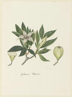 Gardenia rodmania met een detailschets van een gesloten knop en een doorsnede van een knop