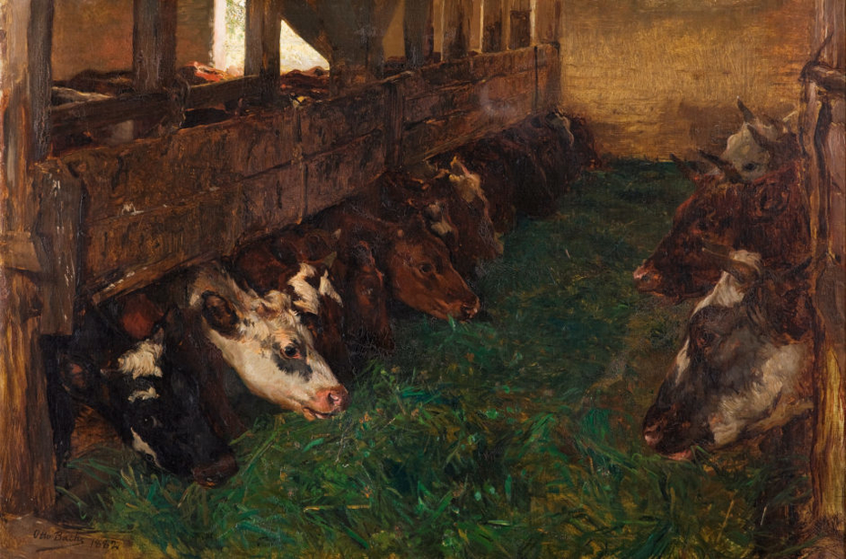 Young cattle enjoy green fodder in the barn
