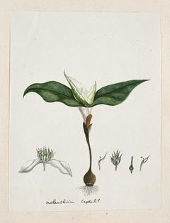 Androcymbium capense; met detailstudies van een bloem in verschillende stadia