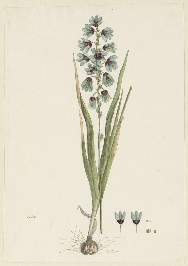 Ixia, met detailstudies van de bloeiwijze