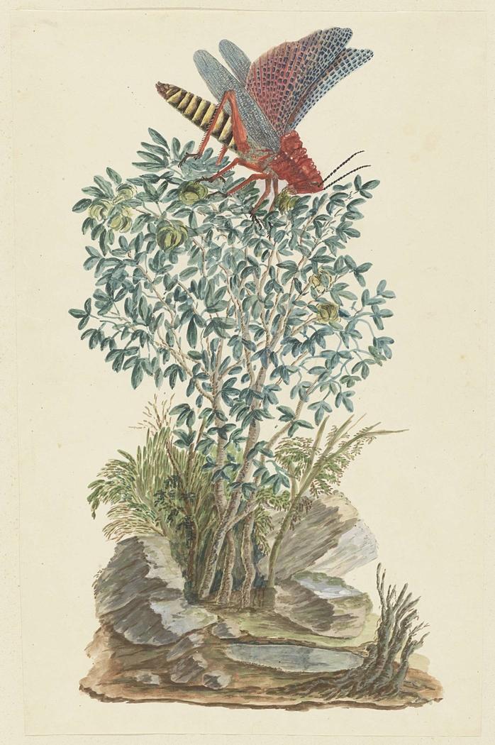 Kaapse rode sprinkhaan op een zygophyllum struik