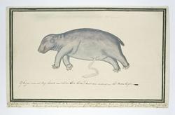 Foetus van een nijlpaard (Hippopotamus amphibius), van het mannelijk geslacht