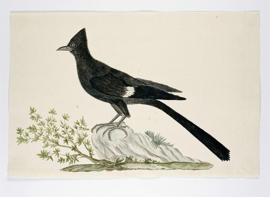 Nieuwjaarsvogel (Clamator jacobinus)