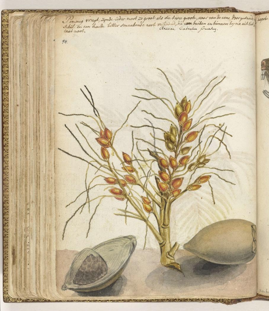 Pinangvruchten jan brandes artwork on useum for 60 1785
