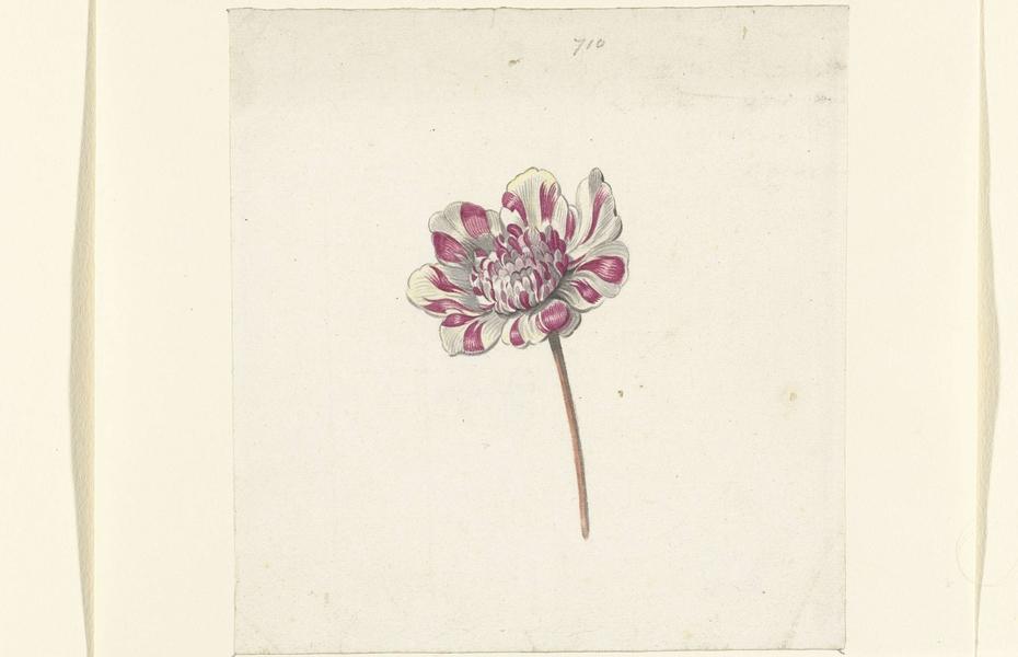 Rood-witte bloem
