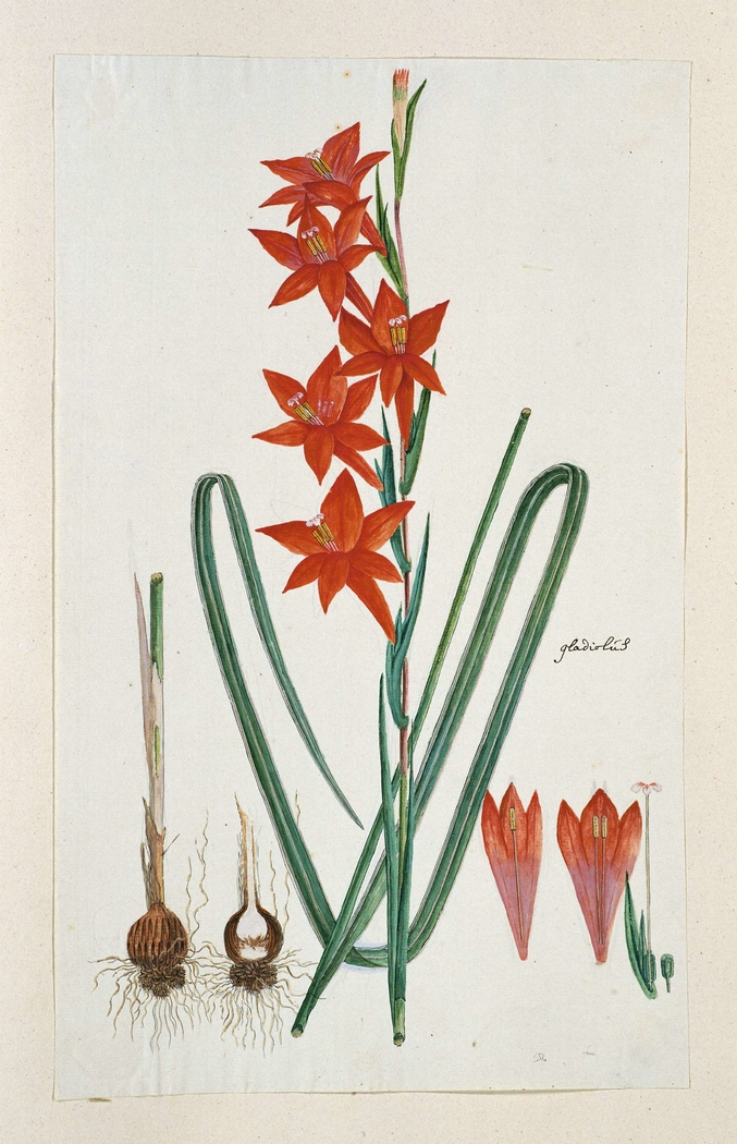 Watsonia hysterantha cf.; met detailstudies van de knol en bloeiwijze
