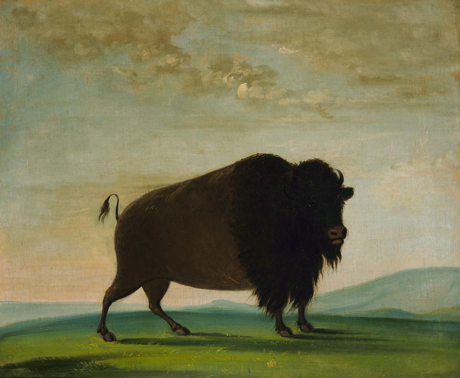 Buffalo Cow, Grazing on the Prairie
