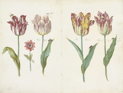 Sheet from a Tulip Book