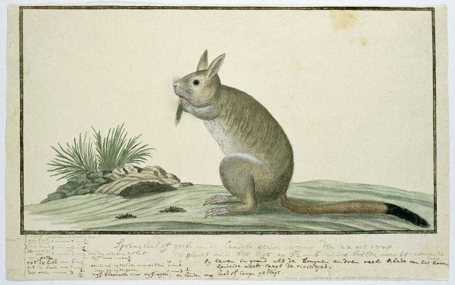 Springhaas (Pedetes capensis)