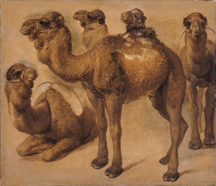 Study of Camels