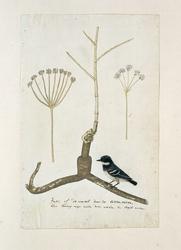 Apiaceae (Umbelliferea), de wortel en twee detailschetsen