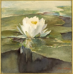 Water Lily in Sunlight