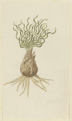 Gethyllis; de knol met bladeren