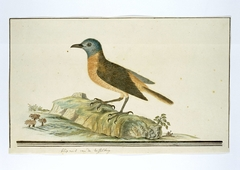 Rotslijster (Monticola rupestris)