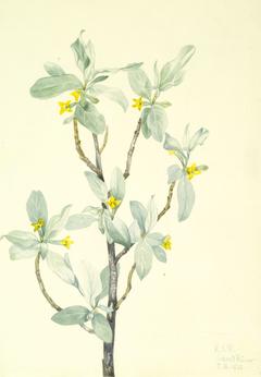 Silverberry (Elaeagnus commutata)