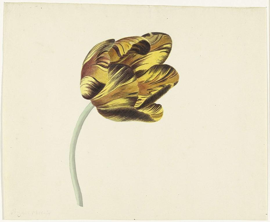 Tulp genaamd Bizard Phoenix