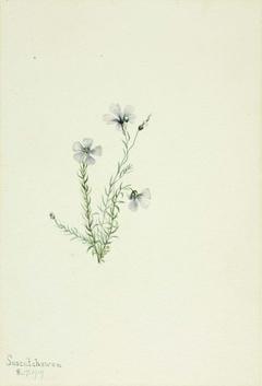 Wild Flax (Linum lewisii)