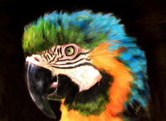 Molly Macaw