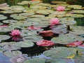 Ninfee / Water Lilies