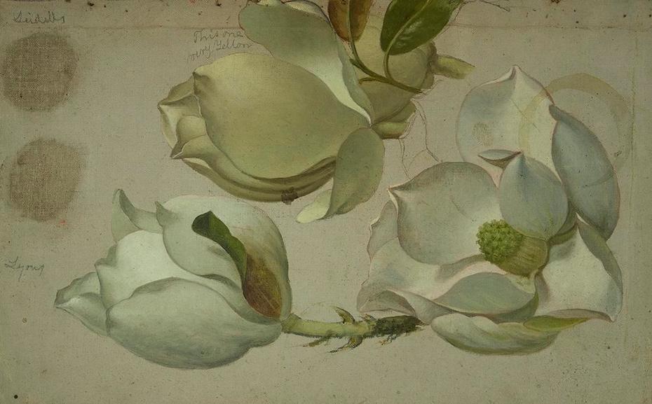 Study of Three Magnolia Blossoms