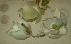 Study of Three Magnolia Blossoms