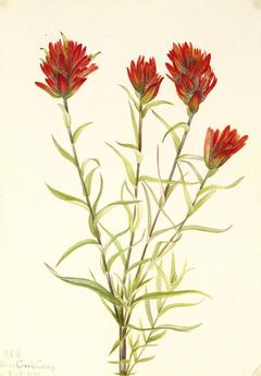 Giant Red Paintbrush (Castilleja miniata)