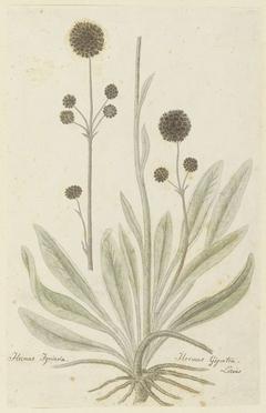 Hermas igniaria of Hermas gigantea (Linaeus)