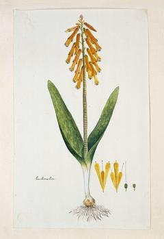 Lachenalia aloides, heideplant; met detailstudies van de bloeiwijze