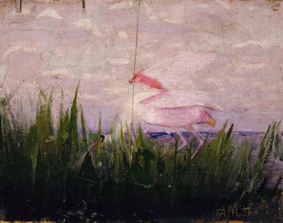 Roseate Spoonbill, study for book Concealing Coloration in the Animal Kingdom