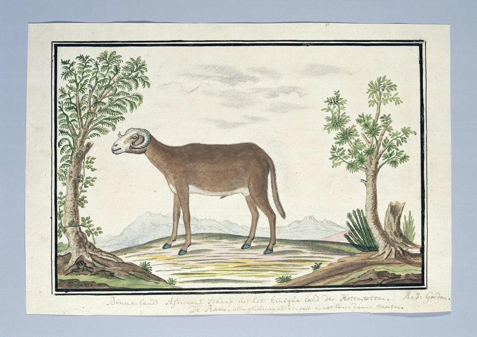 Afrikaans schaap: de ram