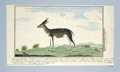 Bosbok (Tragelaphus scriptus)