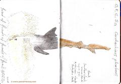 Carnet Bleu: Encyclopedia of…shark, vol.XII p4 - by Pascal