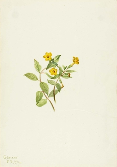 Musk-Flower (Mimulus moschatus)