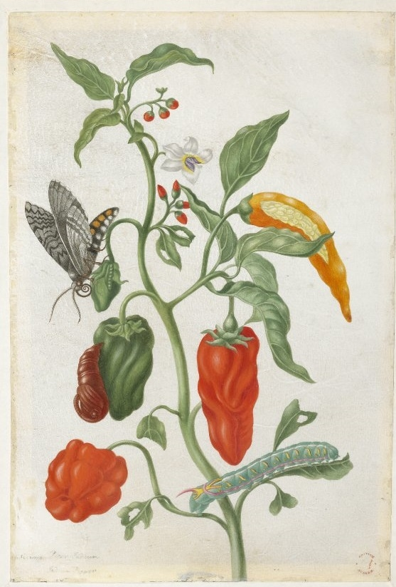 Plant study with peppers