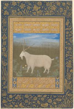 Portrait of a Ladakhi Mountain Goat